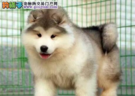 桃脸帅气的深圳阿拉斯加犬出售中 签订合法协议书
