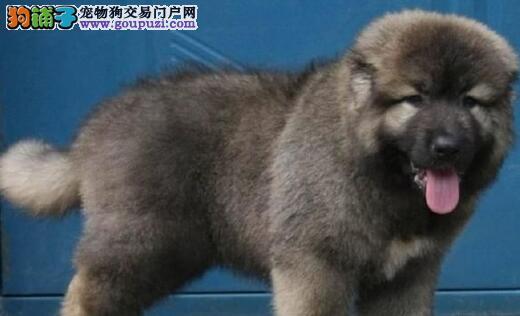 武汉专业犬舍直销顶级品质高加索犬签售后保质量