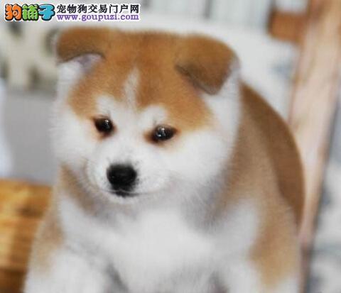 纯种可爱秋田犬,血统正宗品相好疫苗齐全包纯种健康
