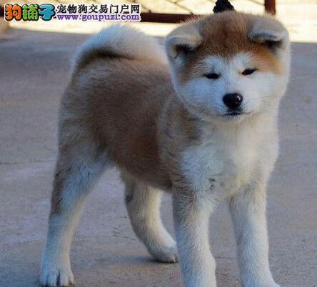 出售精品秋田犬,纯度第一价位最低,三年质保协议