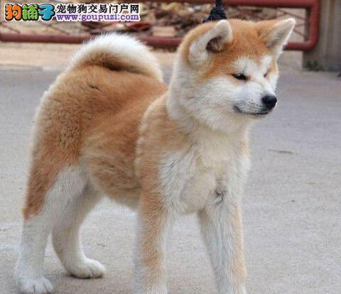 色泽亮丽活泼可爱的南京秋田犬找新主人 求好心人收留