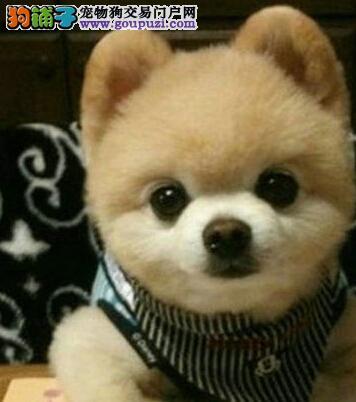 大型犬舍热卖金华博美犬颜色纯正品相好