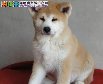 秋田保护协会认证犬舍出售郑州秋田犬 忠诚百分百