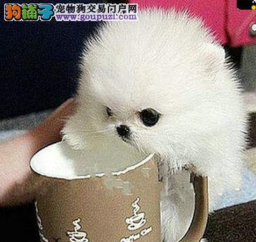 低价热销郑州家养纯种博美犬 签订终协议三个月退换