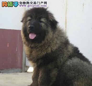 广州哪有卖高加索幼犬 高加索价格 帝王犬业