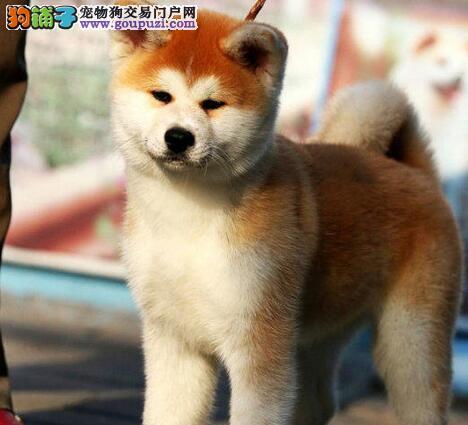 针毛秋田犬非常忠诚的狗狗 疫苗做好两针的 纯种健康
