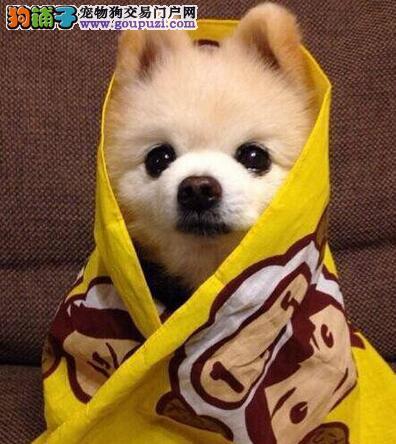 博美犬 不以价格惊天下 但以品质惊世人诚信信誉为本