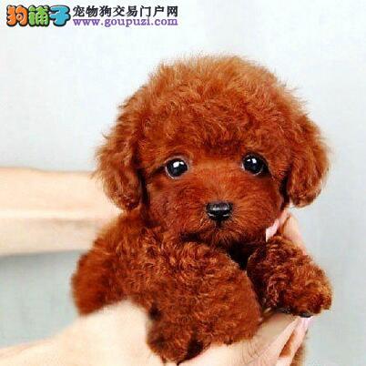 洛阳犬舍直销体型超小的泰迪犬 保证品质健康完美售后