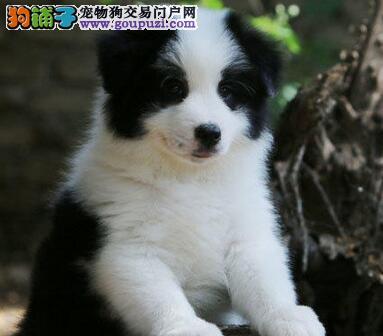 繁殖基地出售纯种边境牧羊幼犬 边境牧羊犬价格