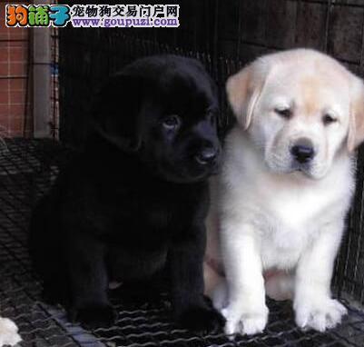 特价出售优秀成都拉布拉多犬 有问题可当场包退包换