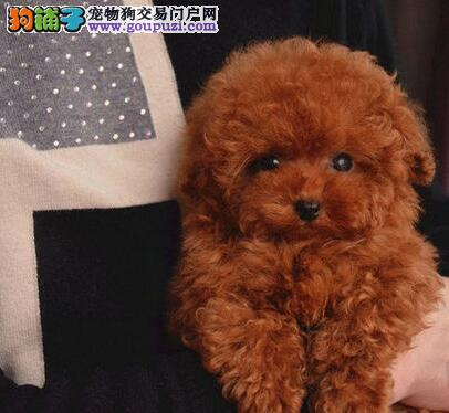 出售高品质贵宾犬有茶杯型玩具型有红色