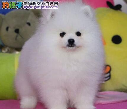 可爱球体博美 购买保障 哈多利博美犬 纯正血统 保健康