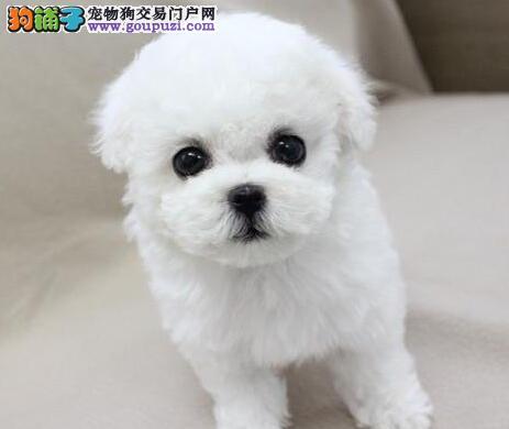 出售高气质好品相的洛阳比熊犬 建议大家上门选购幼犬