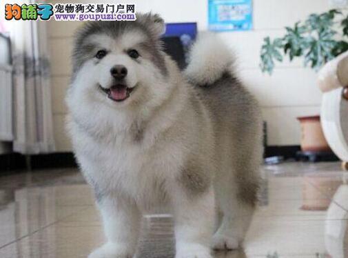 犬舍出售高品质广州阿拉斯加雪橇犬疫苗已注射