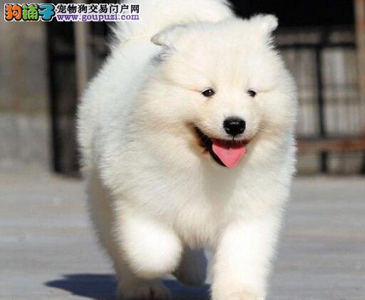 赛级品相萨摩耶幼犬低价出售请您放心选购
