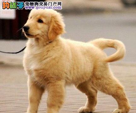 大骨量双血统的柳州金毛幼犬出售中 终身质保售后