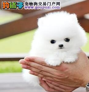 纯血统博美犬幼犬,CKU认证保健康,绝对信誉保证