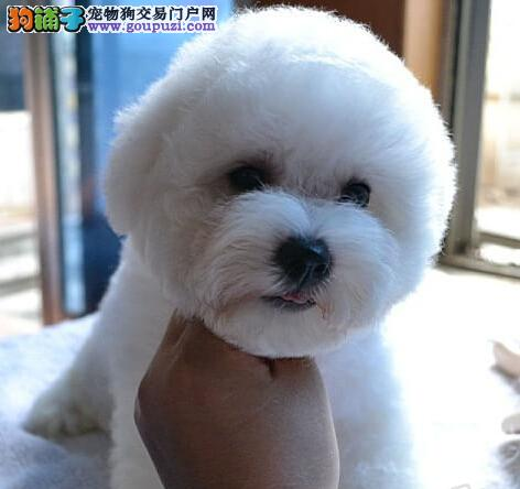 上海极品比熊幼犬,三个月包退换,三年有病包治