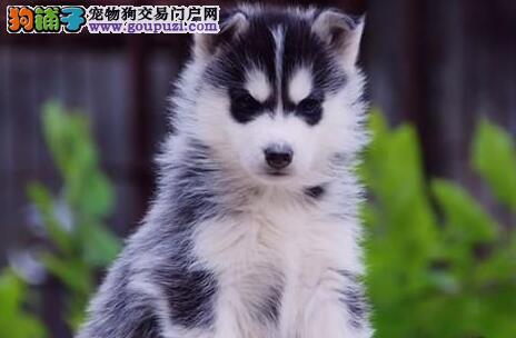 双蓝眼三把火的海口哈士奇幼犬找新家 狗贩子勿扰