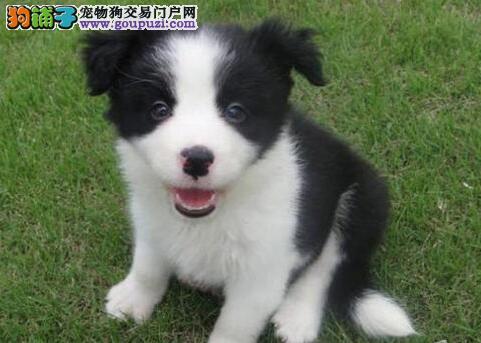 出售温顺聪明易训练的武汉边境牧羊犬 随时电话咨询