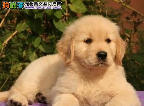 自家狗场繁殖直销金毛幼犬微信咨询看狗狗照片