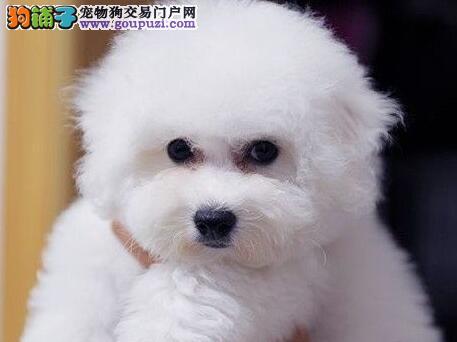 我家有一窝可爱的卷毛南京小比熊幼犬出售 非常漂亮