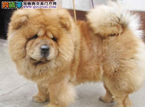 南京正规的养殖基地出售松狮犬 喜欢的朋友们不要错过