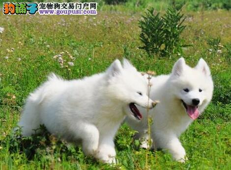 保定繁殖基地出售三个月的萨摩耶幼犬 大毛量完美品相