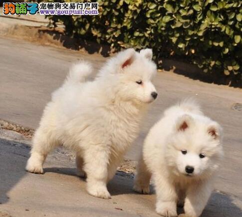 直销精品澳版萨摩耶 建议来上海犬舍当面挑选购买