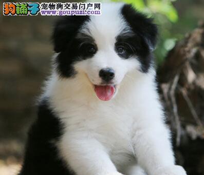 超高智商超高品相的广州边境牧羊犬找新家 签订协议书