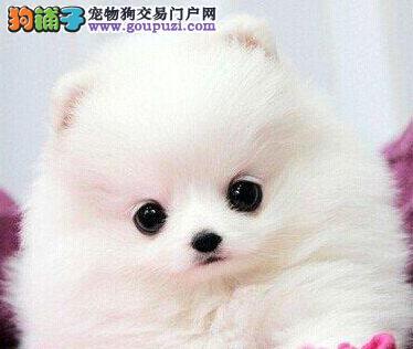 多种血系的博美犬低价处理 广州的朋友可直接上门看狗