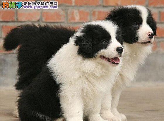 优秀北京边境牧羊犬低价转让 两个月内有毛病可退换