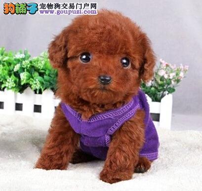 广东自家狗场繁殖直销贵宾犬幼犬真实照片视频挑选