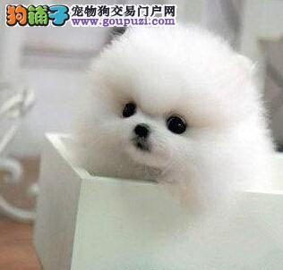 遵义出售博美犬幼犬品质好有保障价格美丽非诚勿扰