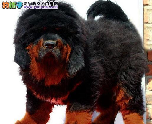 CKU犬舍认证出售高品质汉中藏獒签订合法售后协议