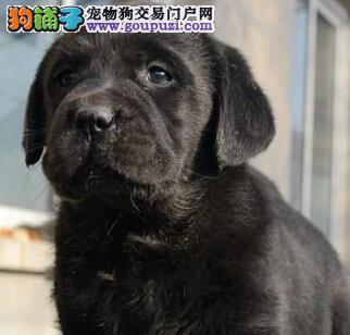 权威机构认证犬舍 专业培育拉布拉多幼犬专业品质一流