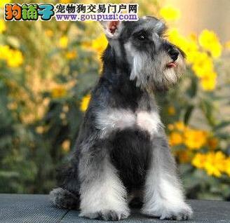 纯种白胡子品相的南宁雪纳瑞幼犬找新家 多只可选