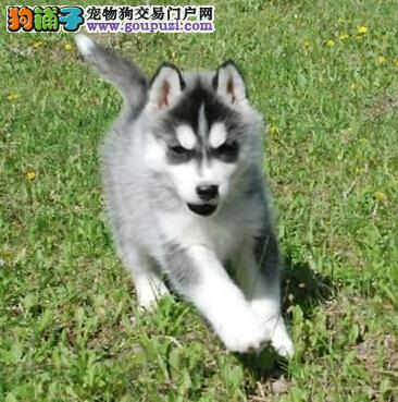 售三火蓝眼超帅气的广州哈士奇幼犬 爱狗人士优先选购