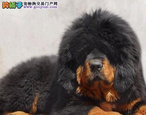 CKU犬舍认证出售纯种藏獒欢迎爱狗人士上门选购