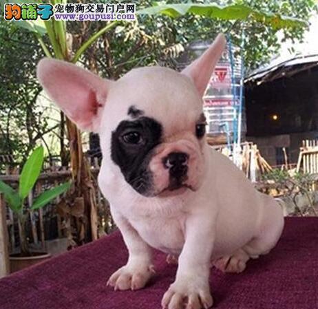 假一罚百 优秀品质斗牛犬出售邯郸地区有实体店售后好