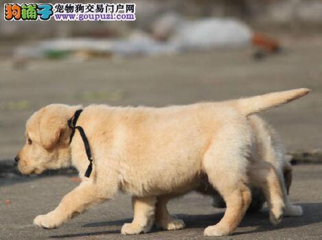 极品拉布拉多犬犬舍直销 大庆周边欢迎上门来挑选