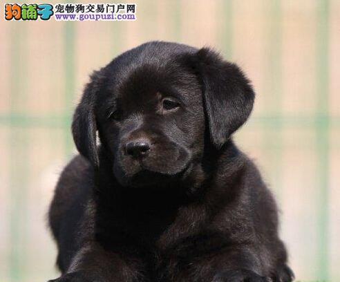 出售绍兴自家繁殖的拉布拉多犬 三个月内包退换售后