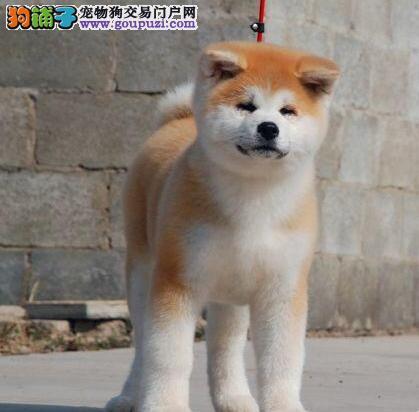 多只优秀纯种日系秋田犬热销 大庆地区有实体店