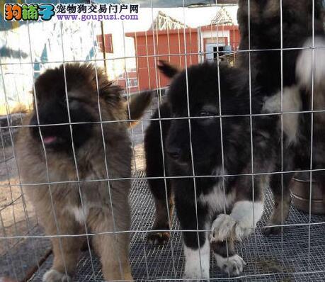 直销纯种俄系大骨架北京高加索犬 质量和售后有保障