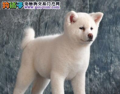 纯正血统毛量丰厚的青岛秋田犬找新家 三个月内包退换