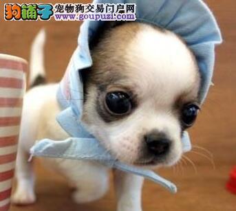 青岛狗场出售超小体苹果头吉娃娃幼犬 疫苗驱虫已做好