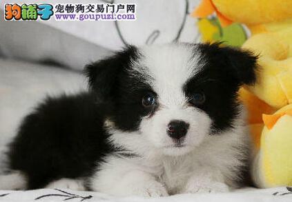 CKU注册犬舍出售武汉边境牧羊犬 七白到位 通脖 纯种