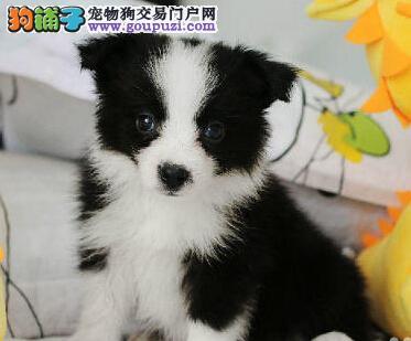 出售边境牧羊犬宝宝、品质第一价位最低、签订终身合同