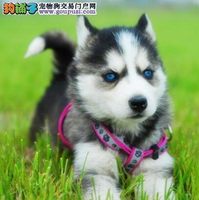 犬舍直销 惠州本地犬舍低价转让三把火哈士奇保证质量