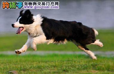 南昌正规繁殖基地出售身体健康的边境牧羊犬 签协议